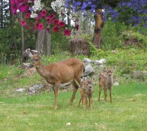deer-fawn1