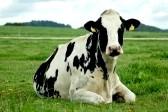 5753824-relaxing-holstein-cow-in-austrian-meadow